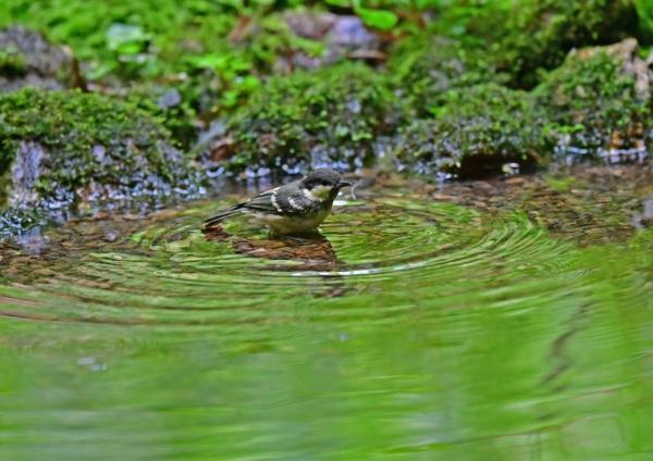 ヒガラ幼鳥水浴び3 DSG_6422