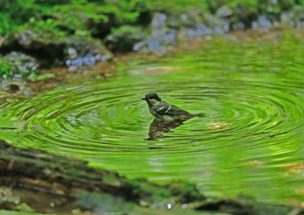 ヒガラ幼鳥水浴び4 DSG_7070