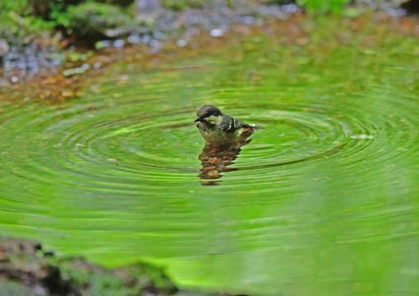 ヒガラ幼鳥水浴び5 DSG_8755