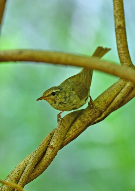 センダイムシクイ幼鳥1 DSG_6699