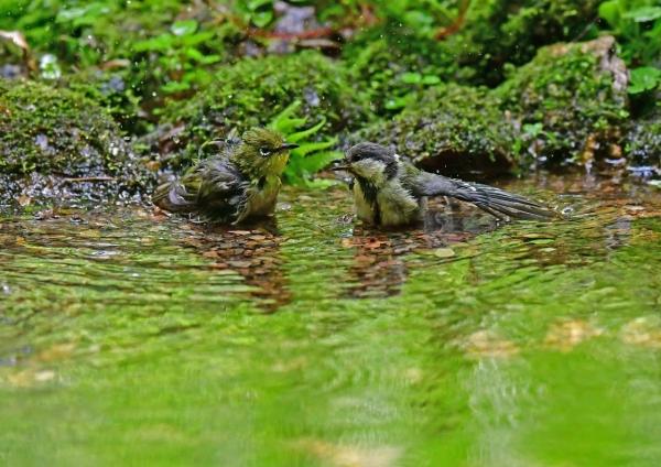 メジロ5とシジュウカラ幼鳥 DSG_8501