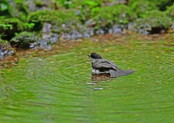 コガラ水浴び2 DSG_6954