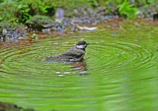 コガラ水浴び3 DSG_8242