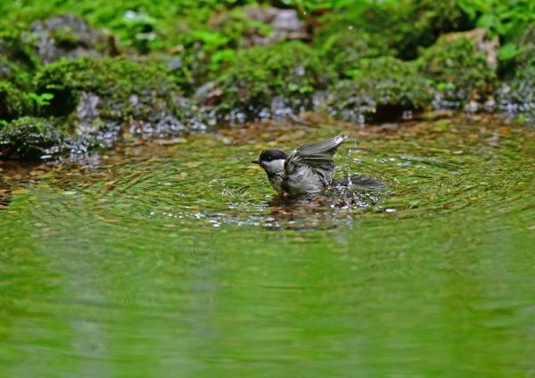 コガラ水浴び5 DSG_6962
