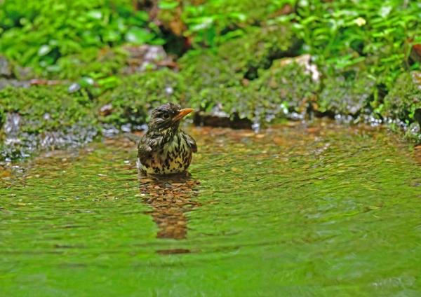 クロツグミ雌水浴び1 DSG_2350