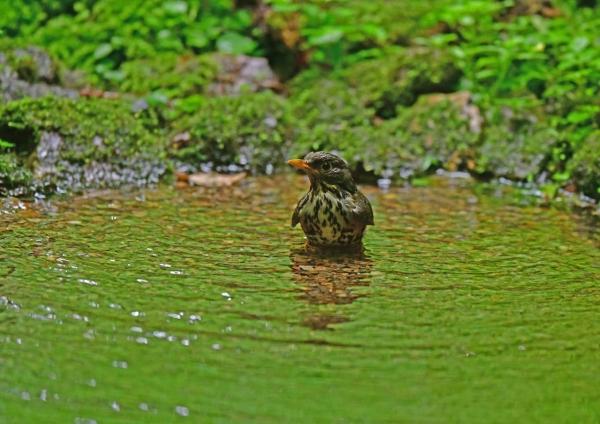 クロツグミ雌水浴び2 DSG_0589