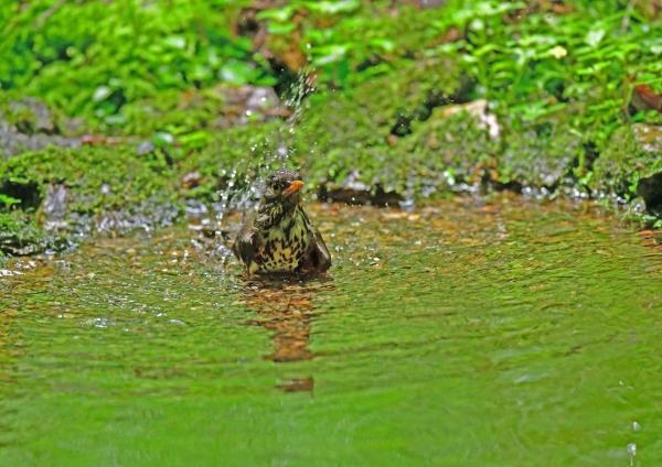 クロツグミ雌水浴び3 DSG_2338