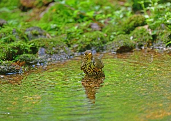 クロツグミ雌水浴び4 DSF_0551