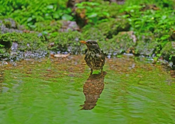 クロツグミ雌水浴び5 DSG_0557