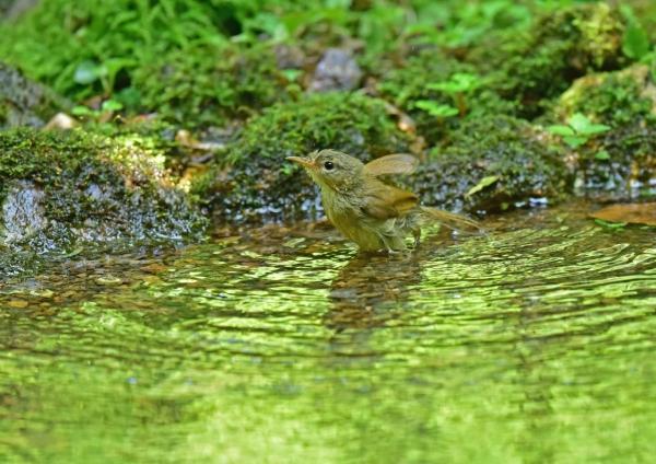 ウグイス幼鳥1 DSE_2338