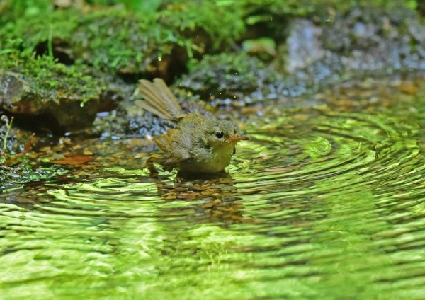 ウグイス幼鳥2 DSE_2372