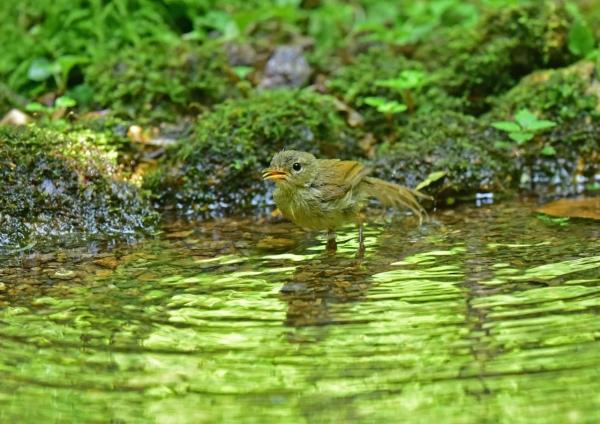 ウグイス幼鳥3 DSE_2341