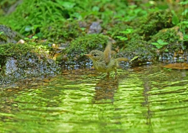ウグイス幼鳥4 DSE_2342