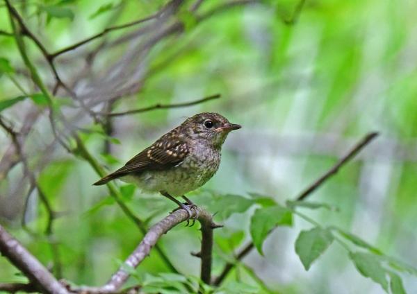 キビタキ幼鳥2 DSG_7750