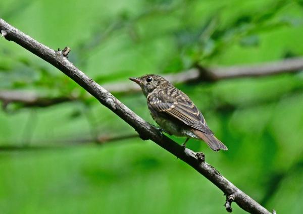 キビタキ幼鳥3 DSG_7742