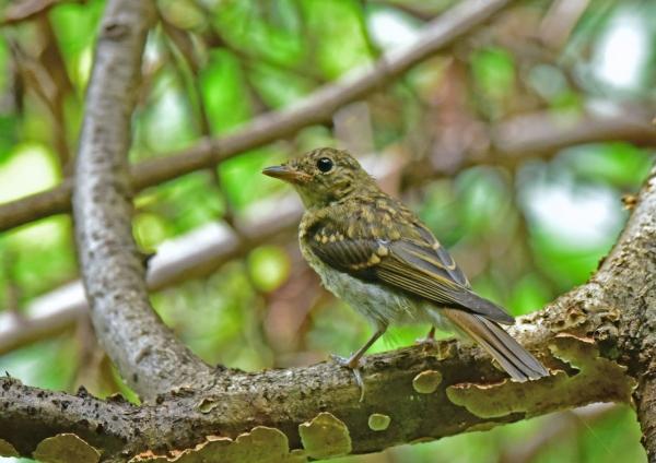 キビタキ幼鳥4 DSE_4683