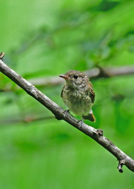 キビタキ幼鳥1 DSG_7734