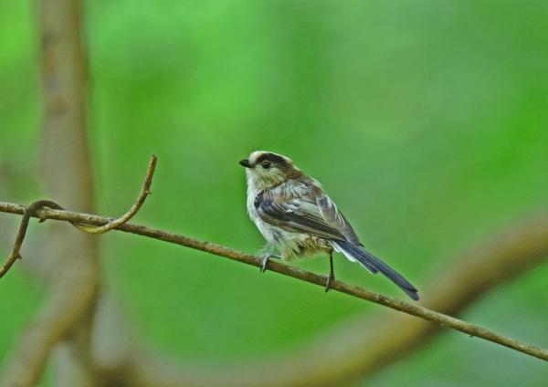 エナガ幼鳥1 DSE_2850