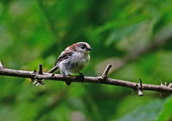 エナガ幼鳥2 DSF_1724