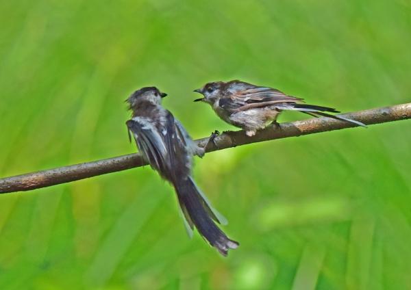 エナガ幼鳥5 DSE_1850