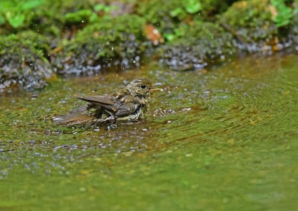 キビタキ幼鳥水浴び DSE_5975