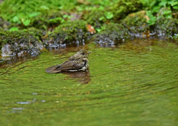 キビタキ幼鳥水浴び DSE_5980