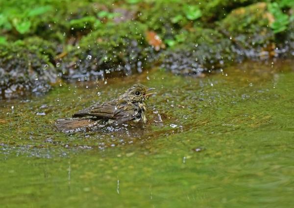 キビタキ幼鳥水浴び DSE_5983