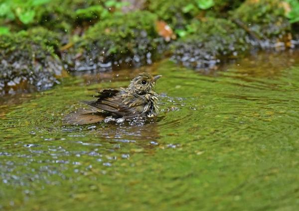 キビタキ幼鳥水浴び DSE_5989