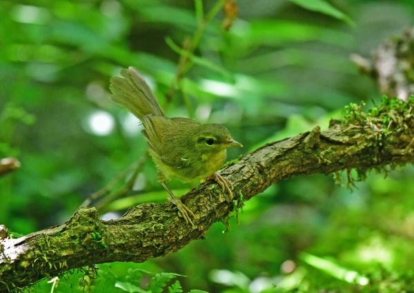 ウグイス幼鳥1 DSF_7060