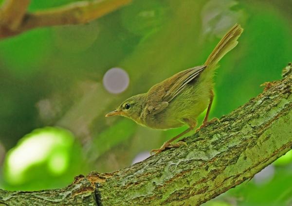 ウグイス幼鳥2 DSF_7065