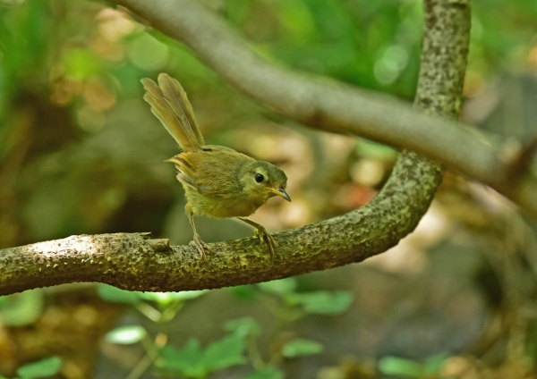 ウグイス幼鳥3 DSE_2470