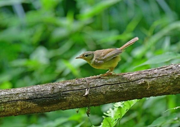 ウグイス幼鳥4 DSF_7054