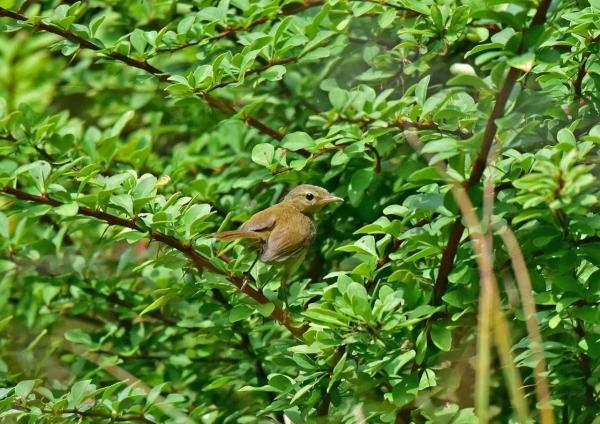 ウグイス幼鳥5 DSE_2384
