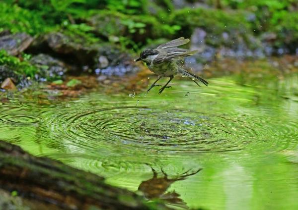 コガラ水浴び2 DSG_7263