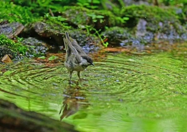 コガラ水浴び3 DSG_7272