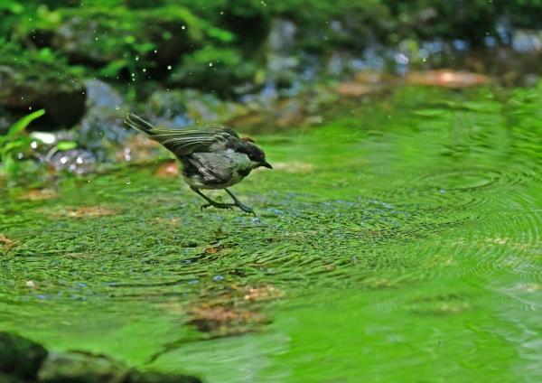 コガラ水浴び4 DSG_3047