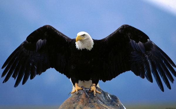 Eagle 鷲 ワシ