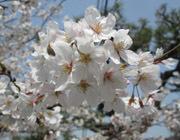 2018 桜桜