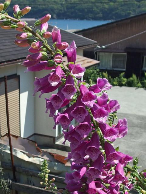 ジギタリス赤紫