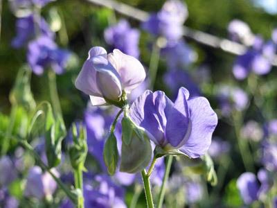 スィートピー紫