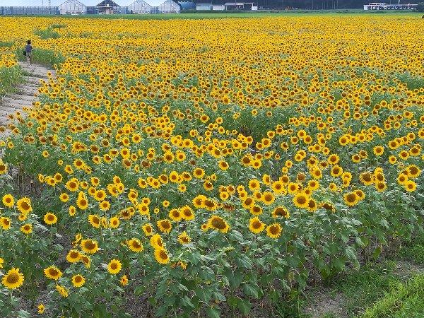 himawari-obama-018.jpg