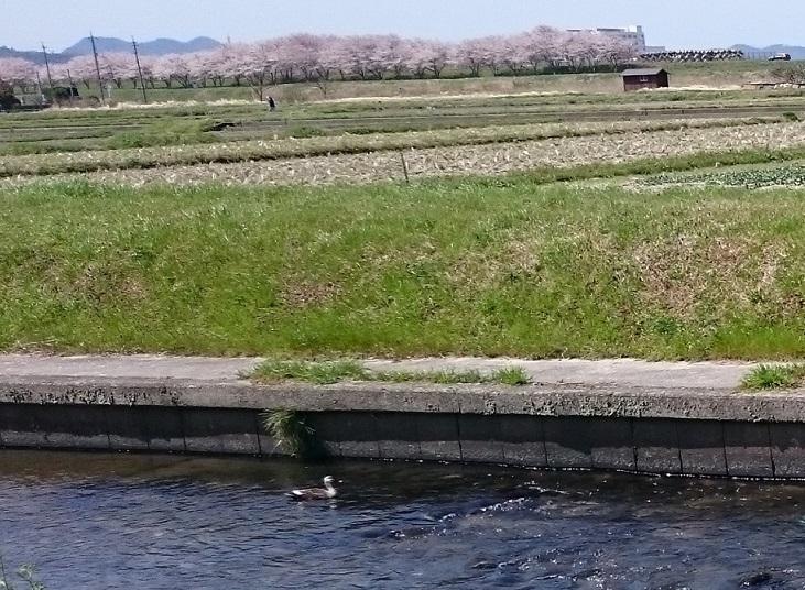 土手の桜と鴨さん1
