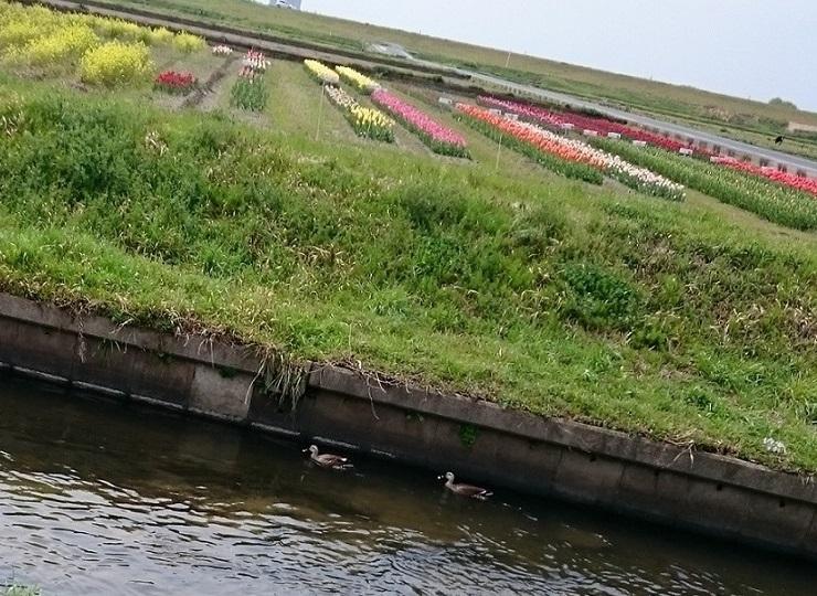 チューリップ畑と鴨さん