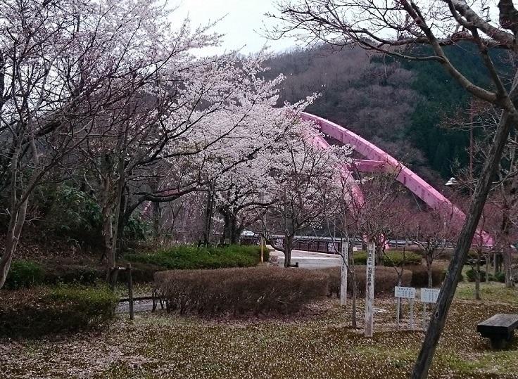 ぱにーニィ実家に向かうダムの桜