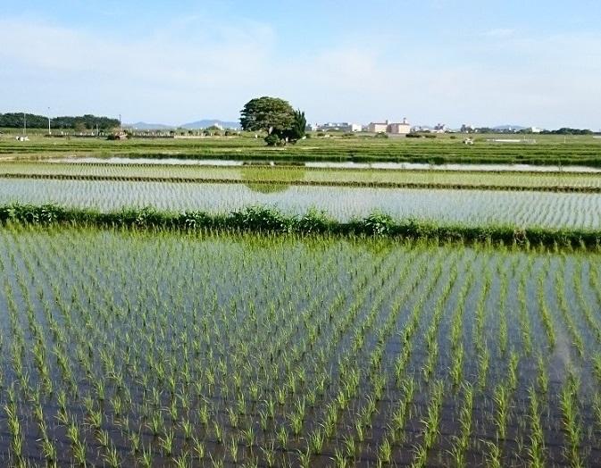 すくすく育つ稲