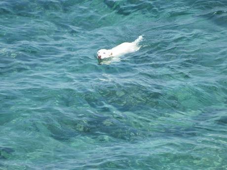 海水浴する犬