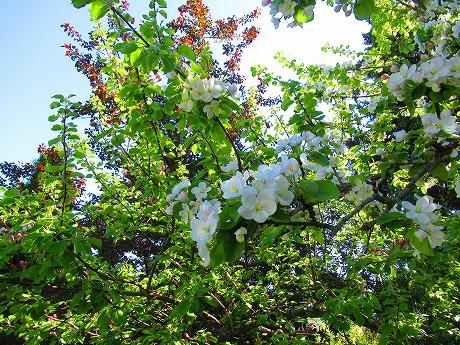 リンゴの花1