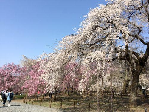 清雲寺しだれ桜1