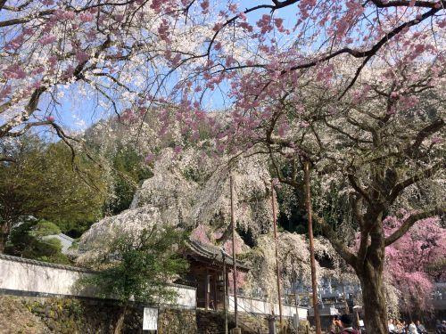 清雲寺しだれ桜2