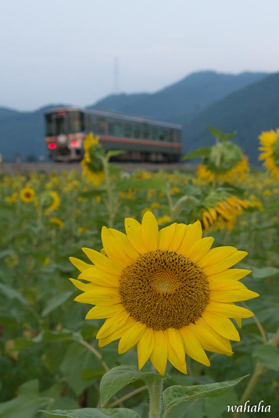 300717kisin_himawari-4.jpg